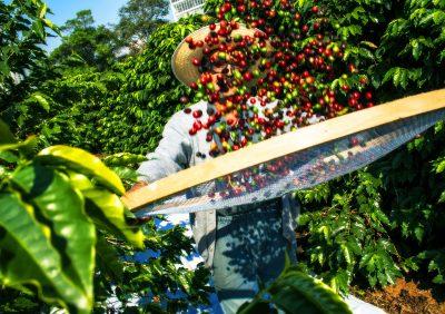 Producteur de café avec cerise de café